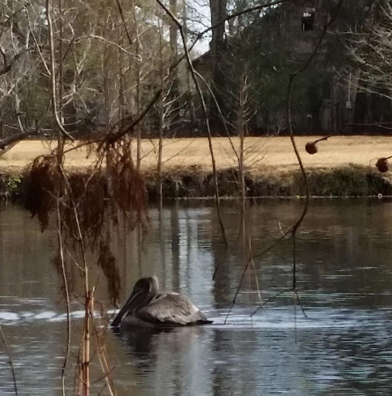pelican blog 2
