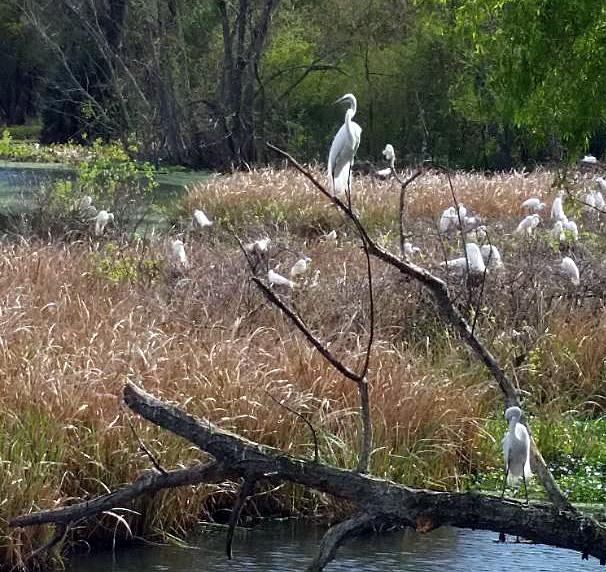 egret avery island