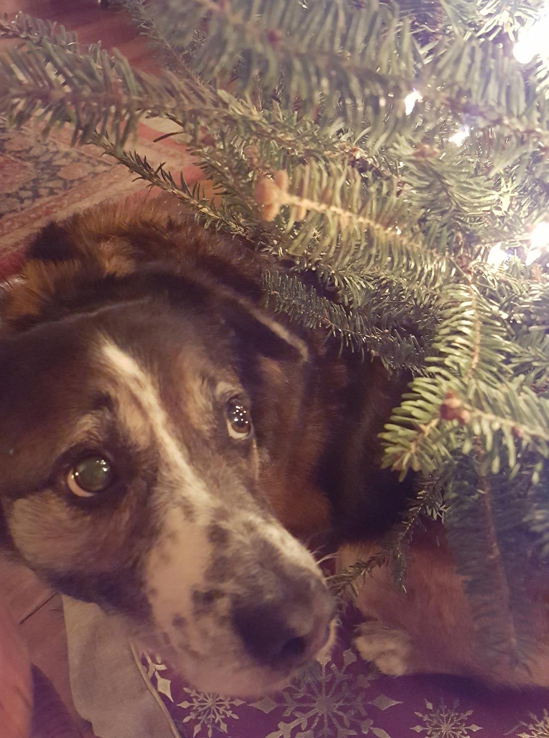 nativity dog