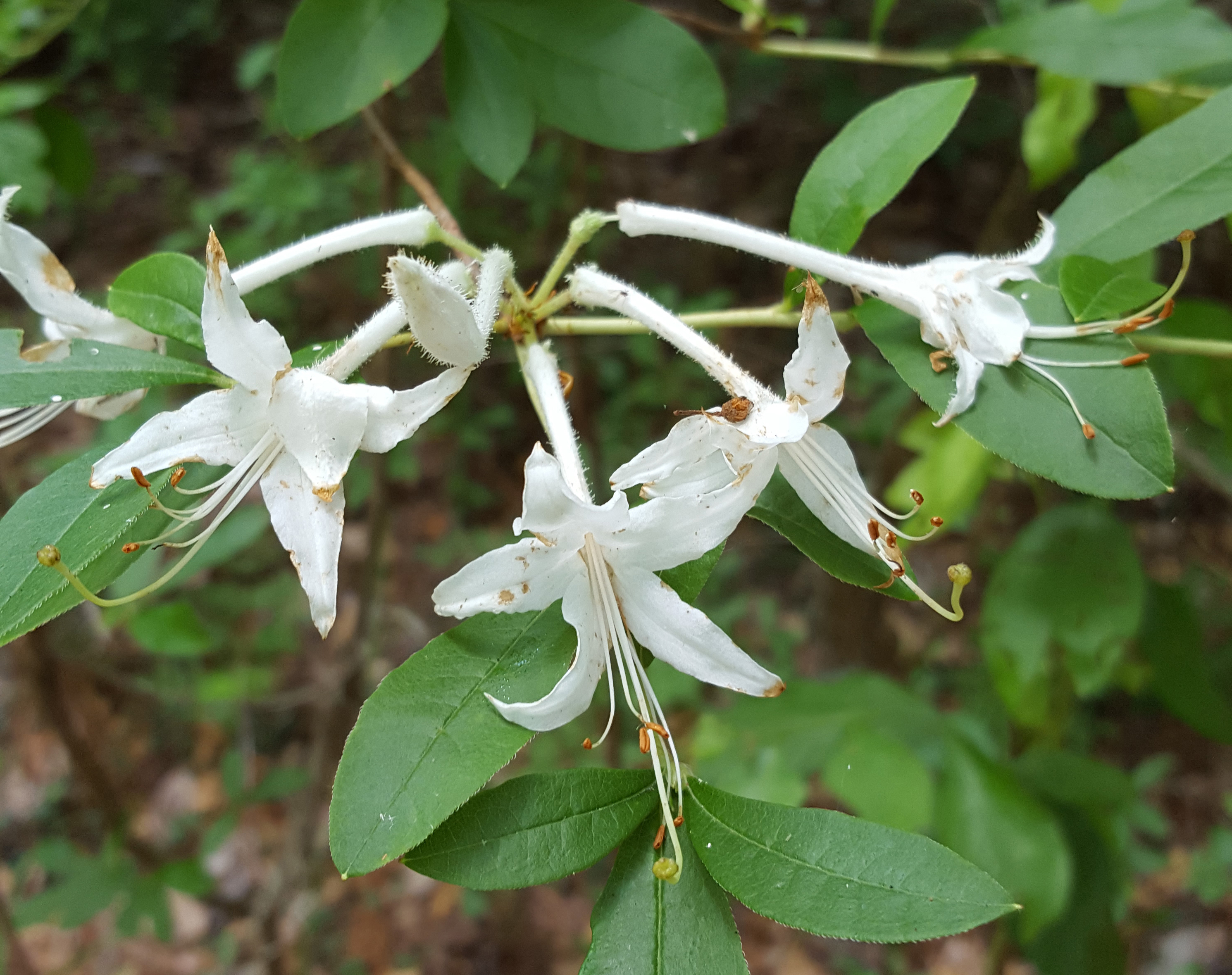 AA mountain laurel
